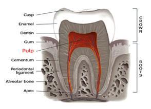 پالپ دندانی